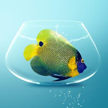 Big fish in small bowl